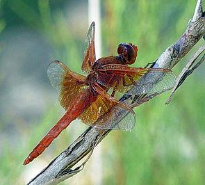 Libellula saturata, Männchen