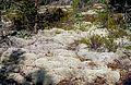 Lichen on Sammalistonkallio.jpg