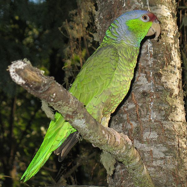File:Lilac-crowned Amazon.jpg