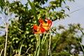 Lilium amabile 2.jpg