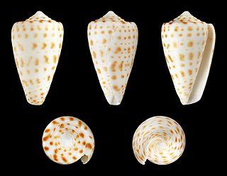 <i>Conus spurius</i> species of mollusc