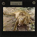 Lion, Lubwa, Zambia, ca.1905-ca.1940 (imp-cswc-GB-237-CSWC47-LS6-030).jpg