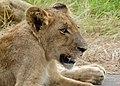 Lion (Panthera leo) cub ... (50806459767).jpg