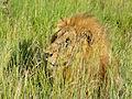 Lion (Panthera leo) hidden in the grass (13981685571).jpg