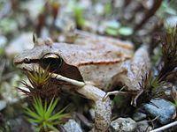 Lithobates sylvaticus (wood frog).jpg