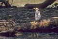Little Pied Cormorant - Kakadu - Australia89Image17 (15405924881) (2).jpg