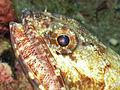 Lizardfish, Bunaken Island.jpg