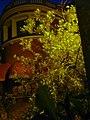 Llentiscles de carrer de Sant Pere Claver P1520444color.jpg