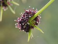 Lomatium dissectum var. dissectum flower close up and bracts.jpg
