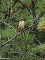 Long-tailed Shrike (Lanius schach) (15834986960).jpg