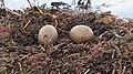Loon Eggs in Finlayson, MN.jpg
