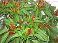 Lots Of Chilies (10077504643).jpg