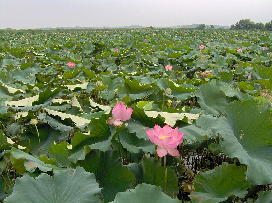 Lotus field in Hubei province, at the outskirts of Wuhan