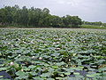 Lotus Fields in Punjab, Pakistan.JPG
