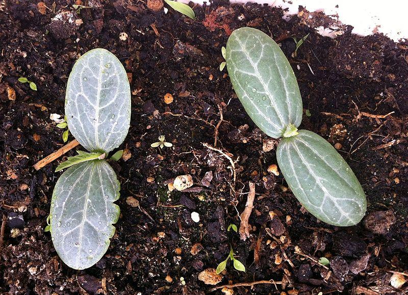 File:Luffa aegyptiaca seedlings.JPG
