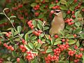 Lunch for the Waxwing.jpg