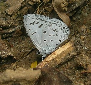 Acytolepis puspa - From the Eastern Ghats, India