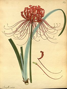 Lycoris radiata, botanical illustration by H.C. Andrews.jpg