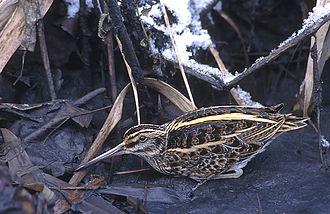 Supercilium - Image: Lymnocryptes minimus (Marek Szczepanek)