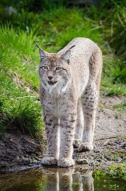 Lynx (17023962125).jpg