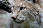 Lynx lynx - 04.jpg