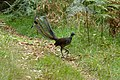 Lyrebird (142179671).jpeg