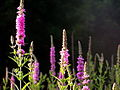 Lythrum salicaria, purple loosestrife 1.jpg