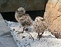 Måsungar på Kulturbryggan 0601.jpg