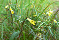 Mélampyre des prés (Melampyrum pratense)FL8.jpg