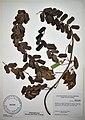 MNH DA 053-DIOS-0005 Dioscorea elmeri.jpg