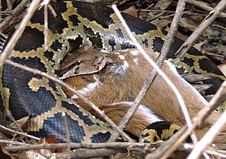 Indian Python eating Chital Deer