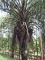 Macaúba(Acrocomia aculeata) na Lateral da Rodovia Anhanguera SP-330 - panoramio.jpg