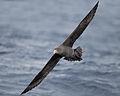 Macronectes halli immature in flight - SE Tasmania.jpg