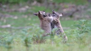 File:Macropus rufogriseus rufogriseus boxing Bruny.ogv