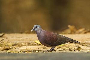 Malagasy turtle dove - Image: Madagascar Turtle Dove Madagascar S4E9255