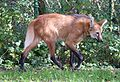 Maehnenwolf Chrysocyon brachyurus Tierpark Hellabrunn-16.jpg