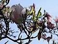 Magnolia (Magnolia) (04).jpg