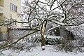 Magnolia (Magnolia) cassé par le poids de la neige (Colmar).jpg