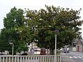 Magnolia grandiflora.103 - Carballo.JPG
