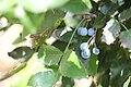 Mahonia aquifolium - Oregonsko grožđe (1).jpg