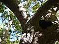 Malabar Fringe tree (8364210049).jpg