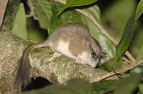 Description de l'image Malabar spiny dormouse.jpg.