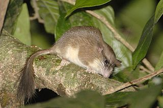 Malabar spiny dormouse species of mammal