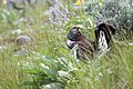 Male Dusky grouse in display (e3cf0342-f88b-4ef6-8a9d-28dbecd644a1).jpg
