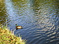 Male duck in sunshine.JPG