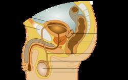 miehen sukupuolielimet anatomia Forssa