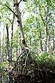 Malpighiales - Rhizophora mangle - 32.jpg