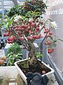 Malus bonsai in a garden centre (with flowers and fruits).jpg