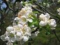 Malus prunifolia 'fastigiata', Arnold Arboretum - IMG 5938.JPG