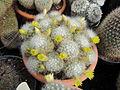 Mammillaria (3645399782).jpg